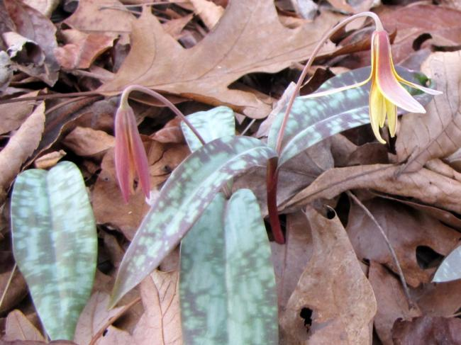 Trout Lily